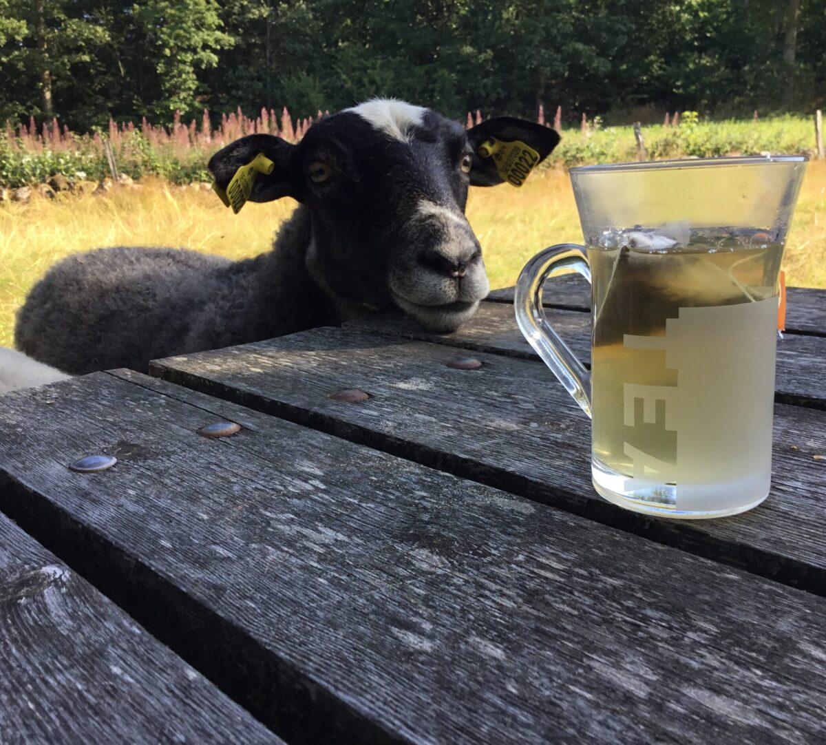Ett får står vid ett bord och tittar på en kopp te. Foto.