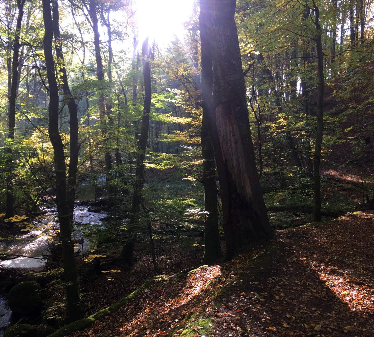 Foto på skog med solstrålar som når marken och en å.