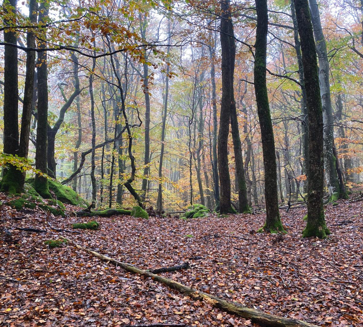 Foto på en dimmig skog i höstfärger.