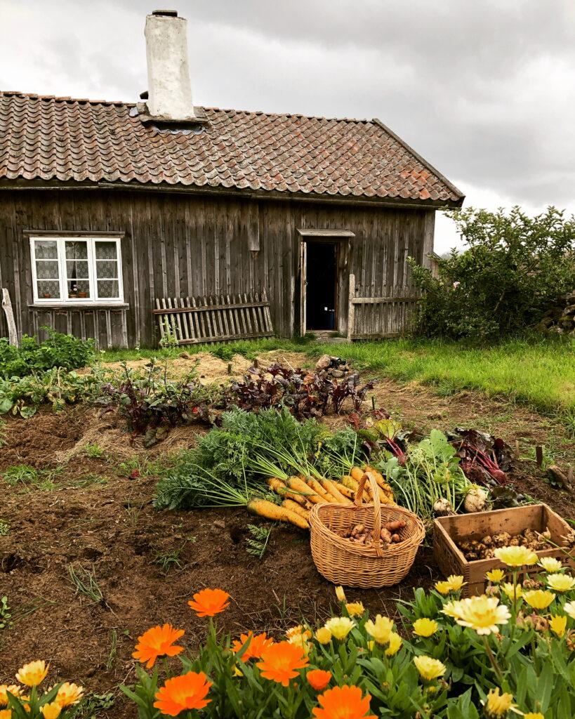 Odling av blomster och rotfrukter i byn Äskhult. Foto.
