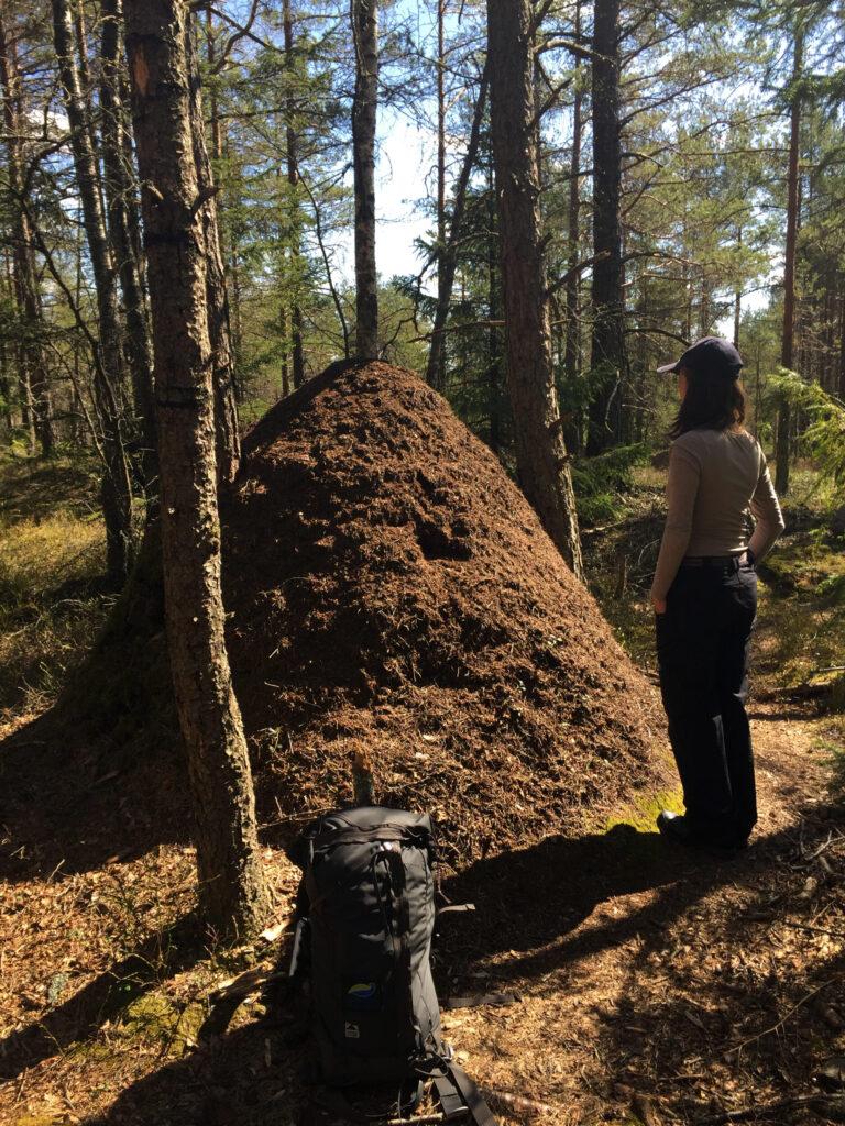 Person står vid en stor myrstack. Foto.