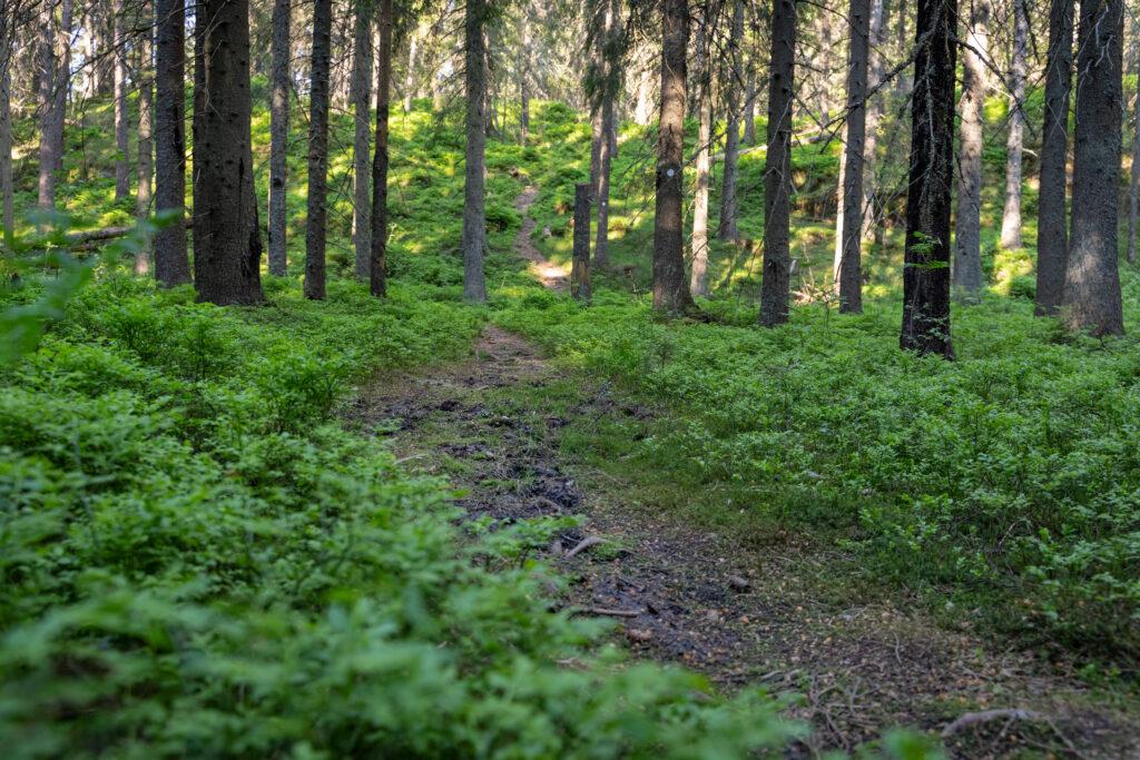 Slingrig stig i skog. Foto.
