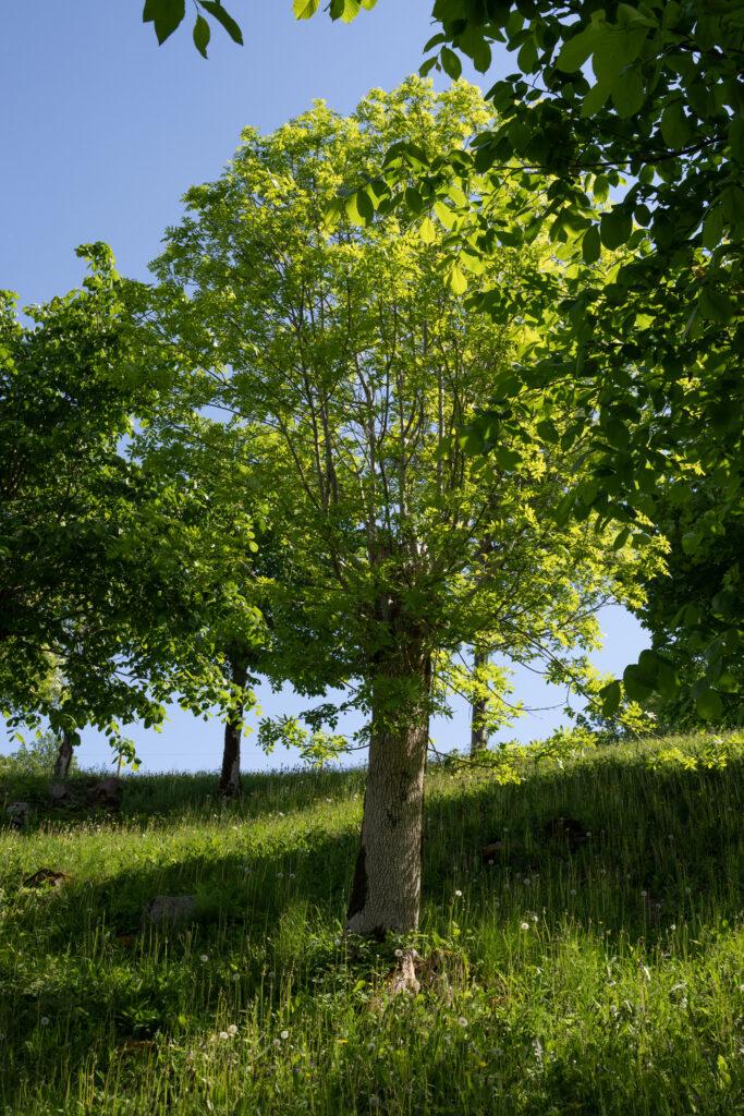 Foto på ett hamlat träd.