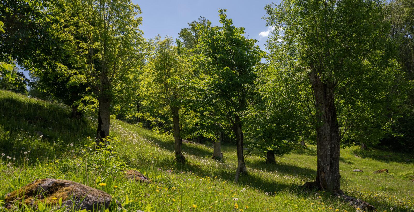 Foto på en blomstrande äng med hamlade träd.