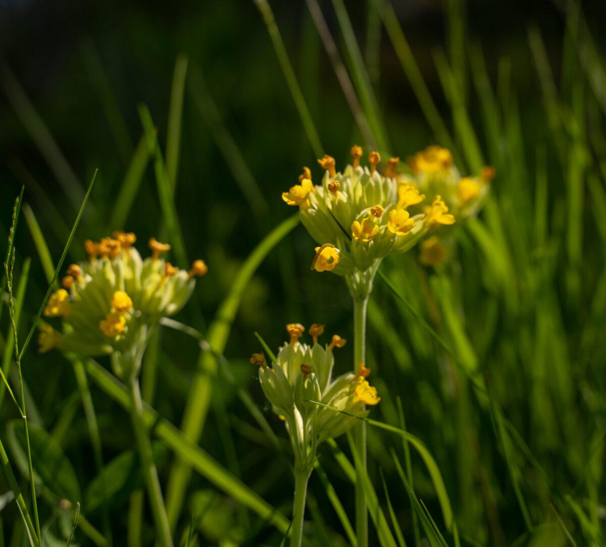 Närbild på blommande gullviva.
