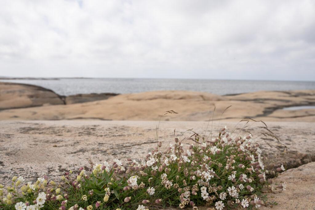 Blomstrande strandglim i klippskreva. Foto.