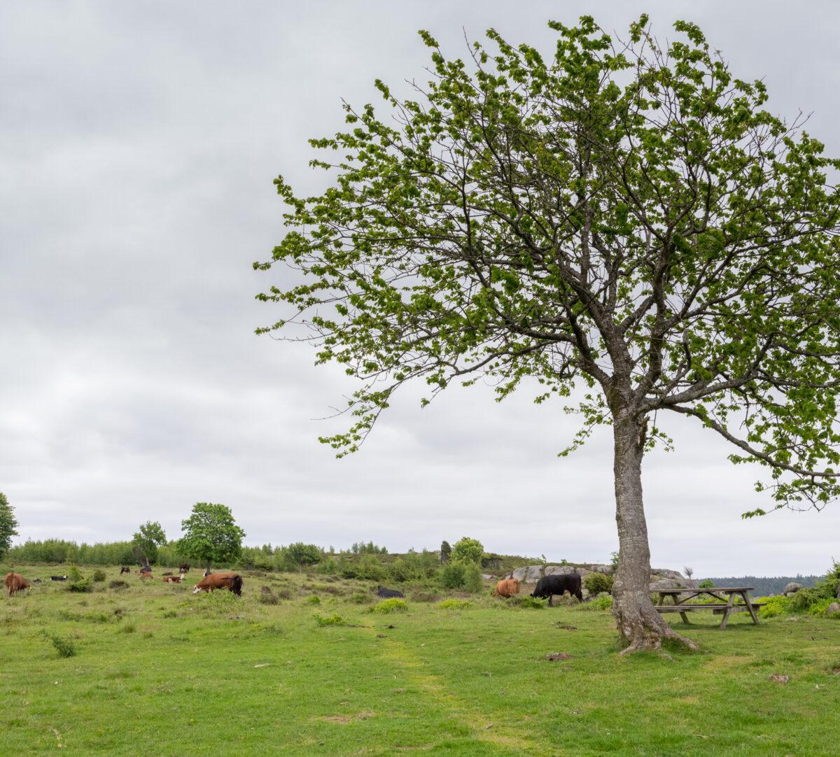 Betesmark, betande kor, stig och ett träd. Foto.