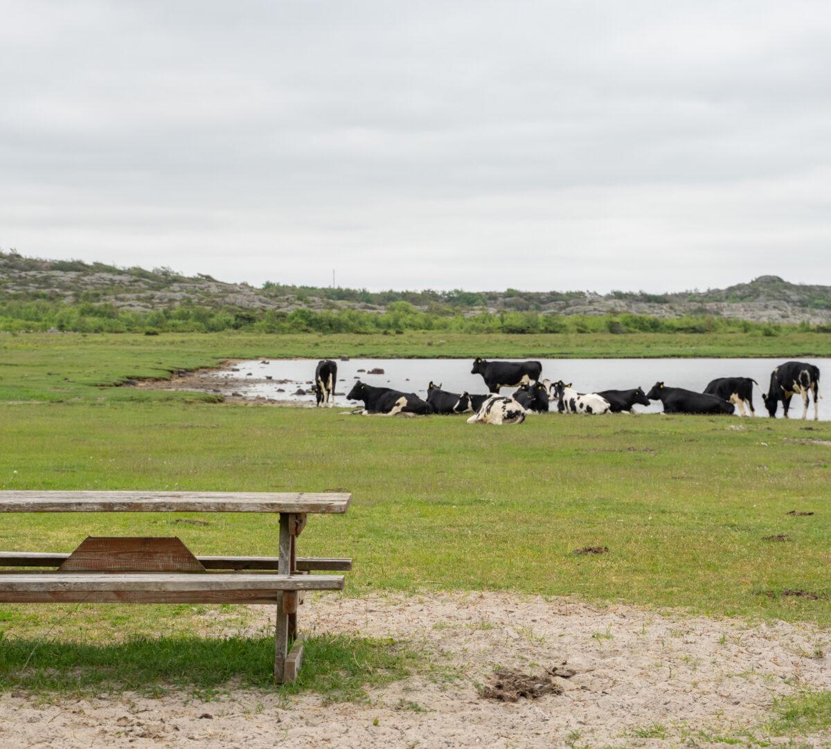 Foto på strandäng med kor och ett bänkbord i förgrunden.