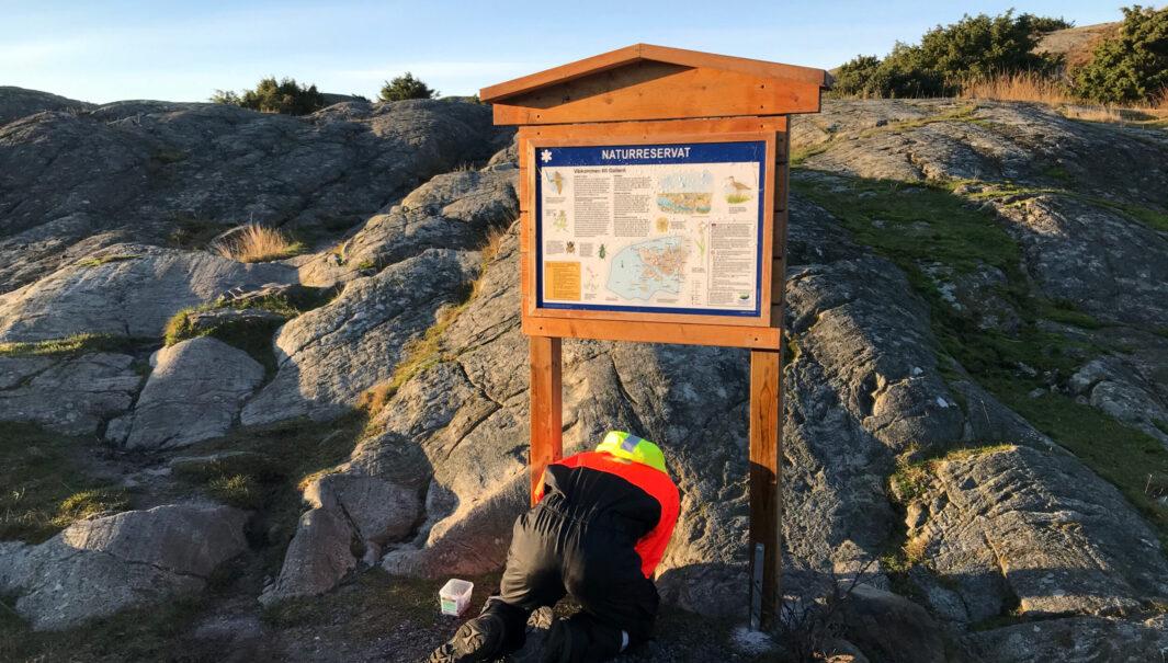 Person från Västkuststiftelsen sätter upp en informationsskylt på Galterö.