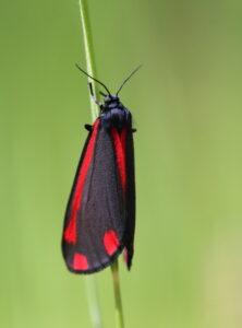 Foto på den lilla fjärilen karminspinnare. De baklagda vingarna bär bjärt röda fläcka på djupt mörkblå botten.