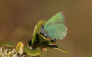 Foto på den lilla gröna fjärilen grönsnabbvinge.