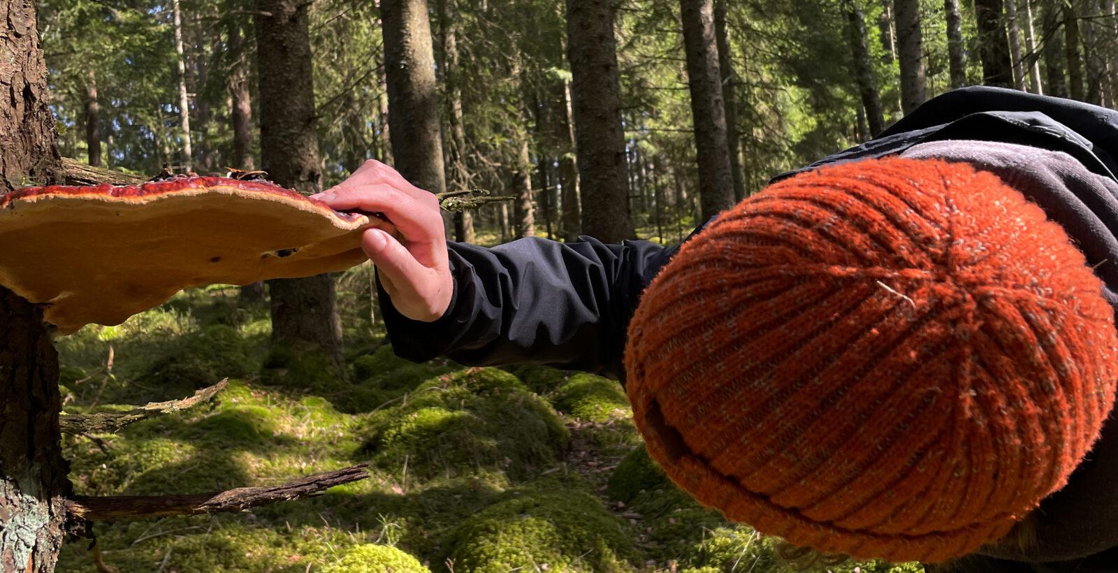 Person ser närmare på en stor svamp på ett träd. Foto.