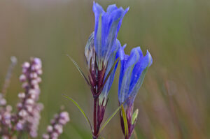 Foto på blomman klockgentiana. Den klockformade blomman har en vacker blå färg och är vänd uppåt.