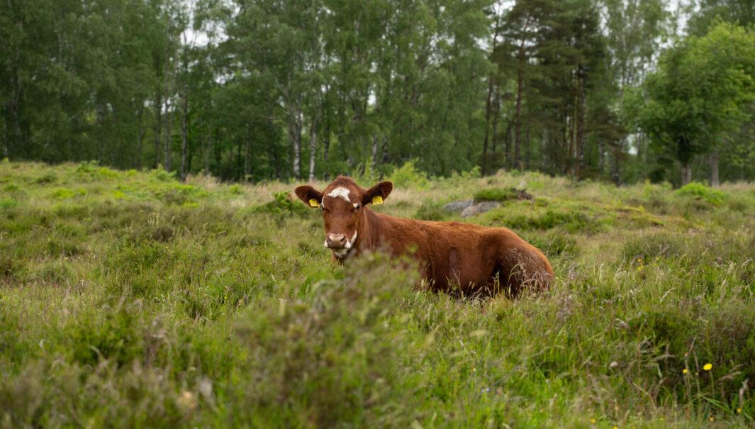 Ko ligger på marken. Foto.