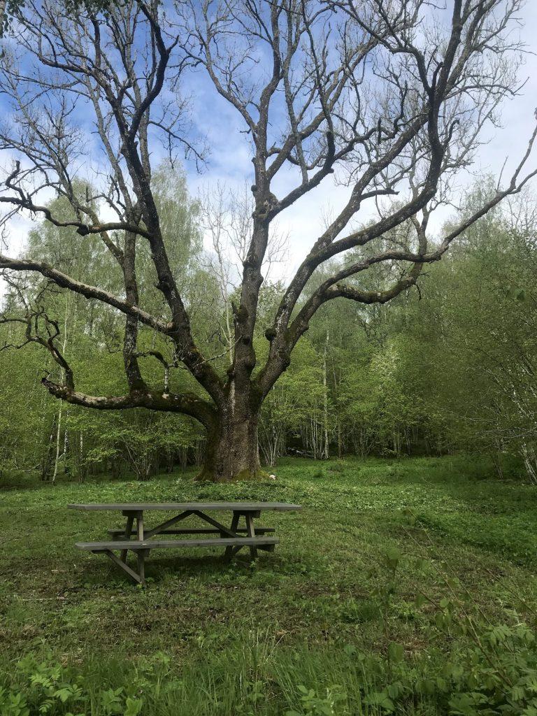 Bänk vid ett träd på en röjd yta. Foto