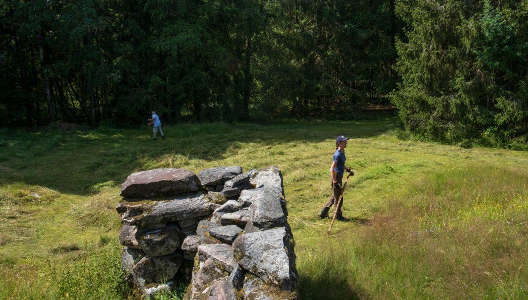 Två personer slår en äng med lie. En bit av en stenmur finns i förgrunden. Foto.