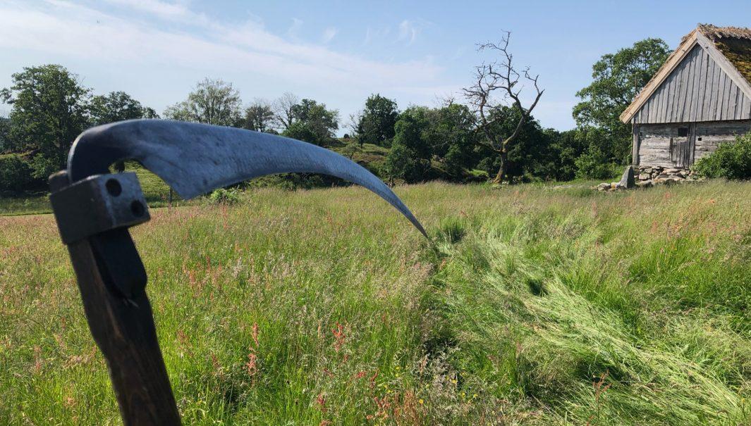 Högt gräs och en lie i förgrunden. Foto.
