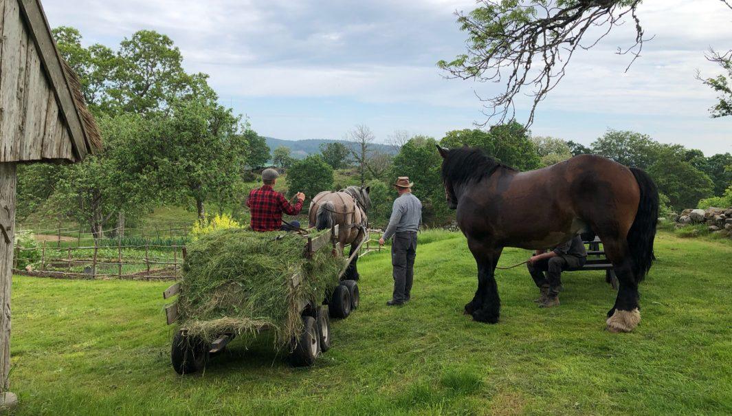 Ett lass med gäs dras av en häst. Foto.