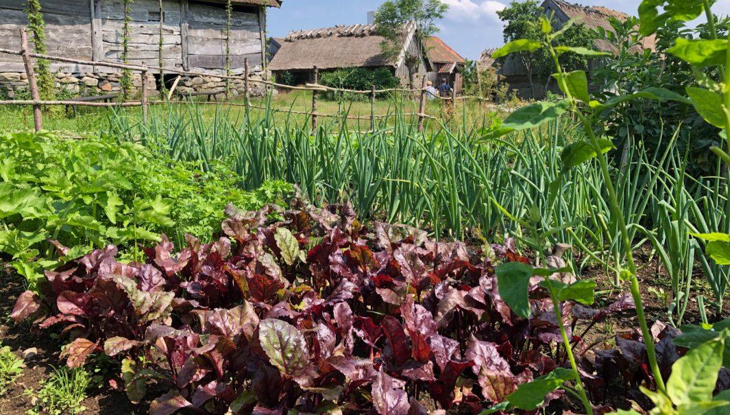 Ett grönskande kålgård. Foto.
