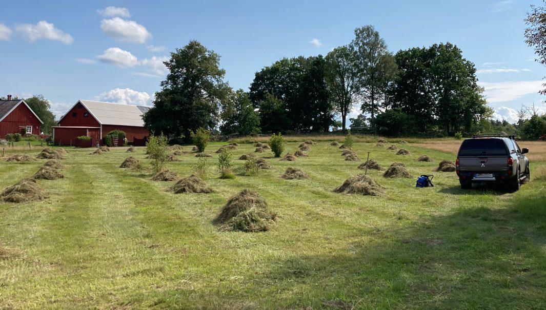 Slagen ängsmark med ett flertal högar av gräs. Foto.