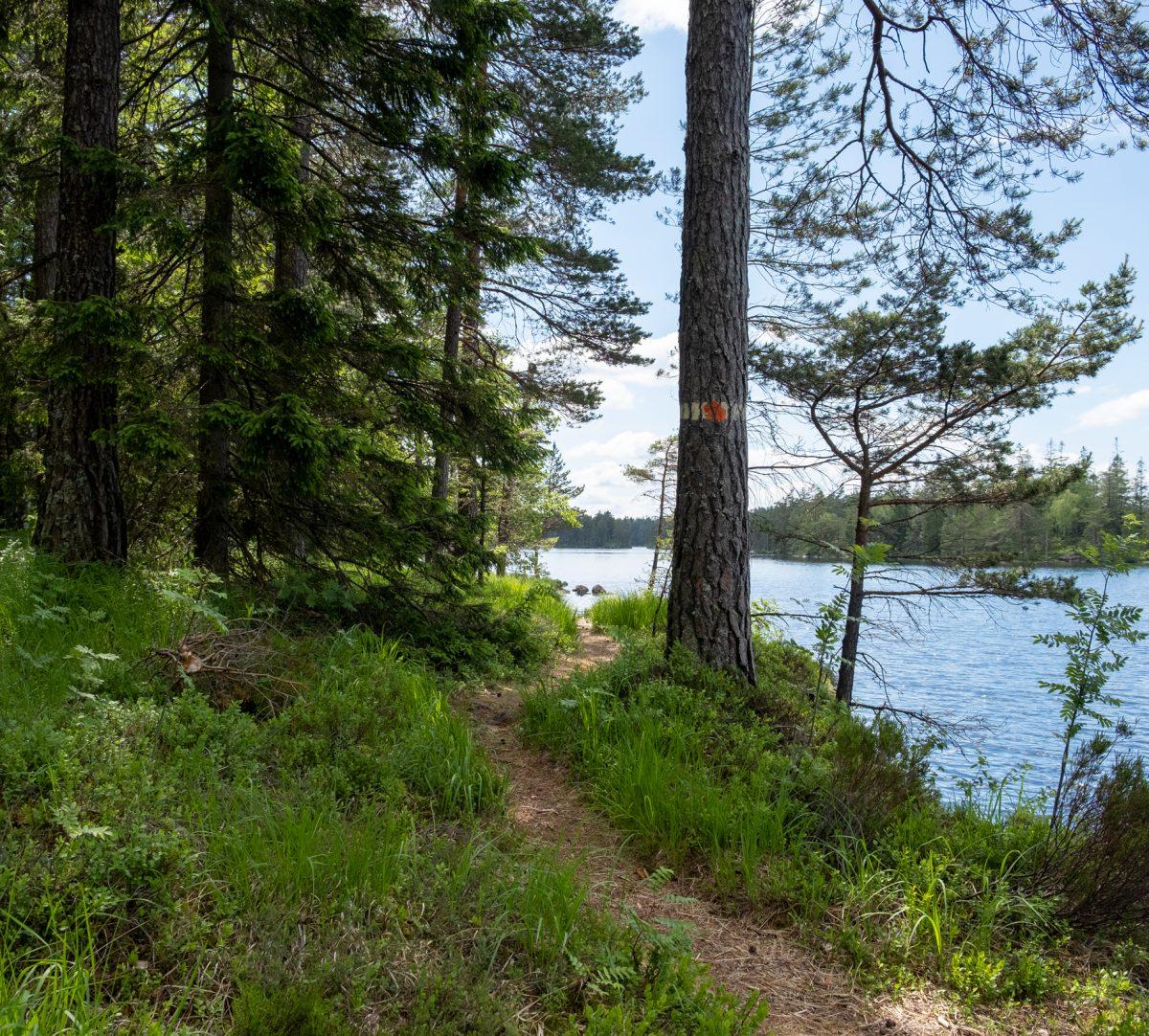 Stig som går precis längs med en sjö i tallskog. Foto.