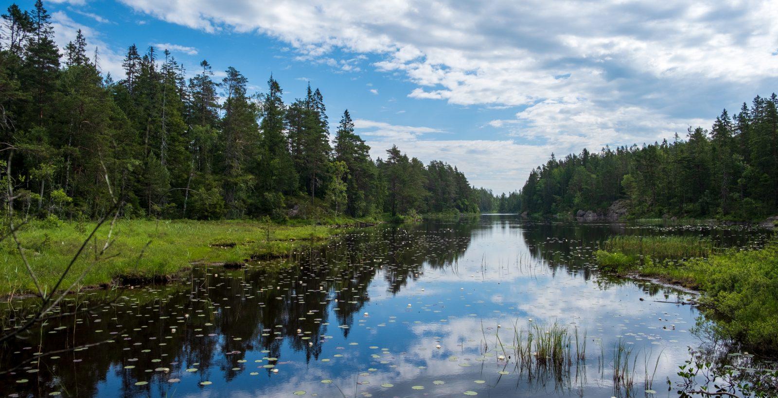 Sjö med näckrosor, omgiven av barrskog. Foto.