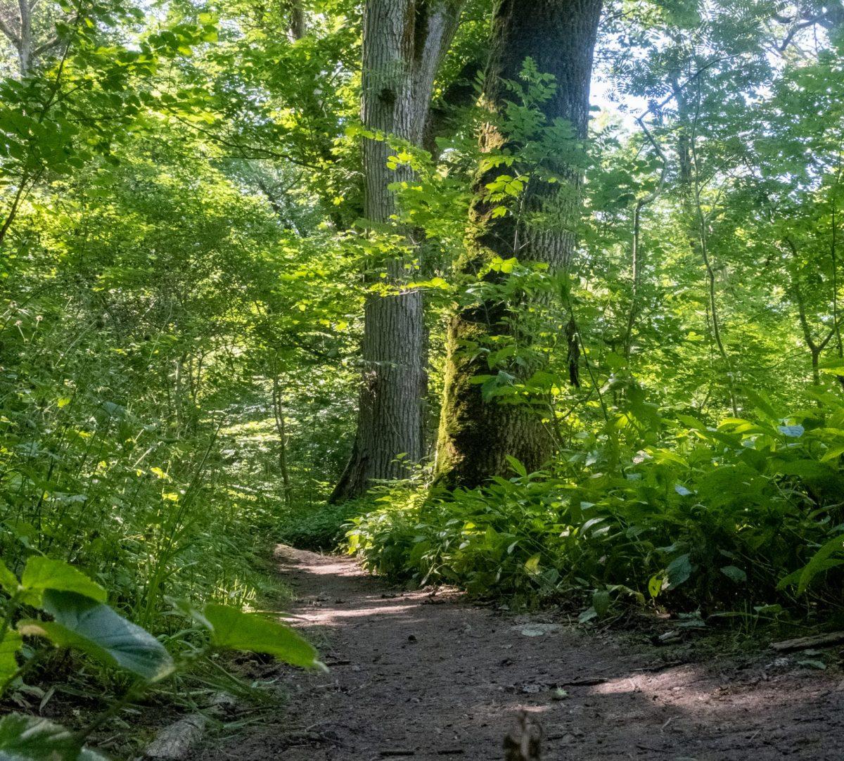 Upptrampad stig i skog. Foto.