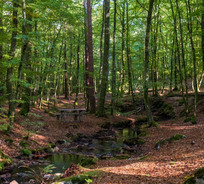 Bänk vid en slingrande bäck , i en bokskog. Foto.