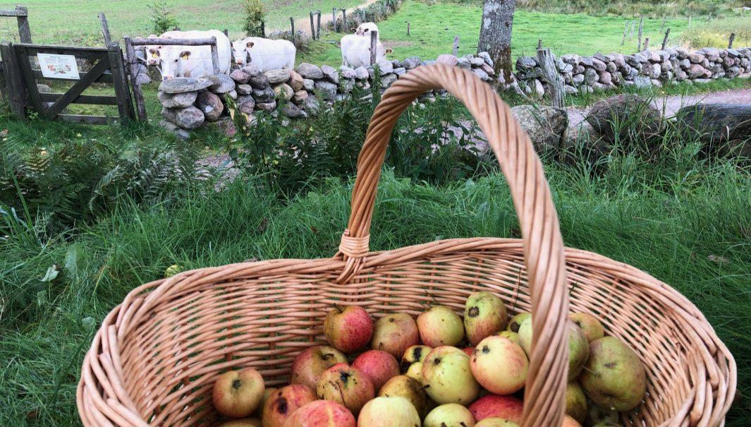 En korg full med äpplen (i förgrunden). Kor bakom en stenmur (i bakgrunden(. Foto.